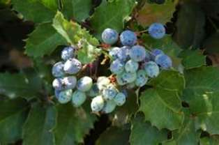 oregon_grape
